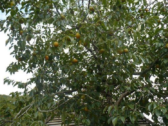 В октябре в Абхазии спеют апельсины, мандарины, хурма и другие фрукты