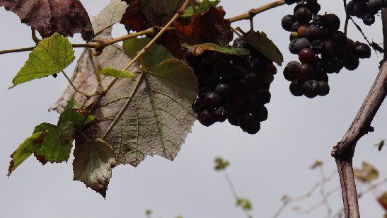 Ноябрь на абхазском языке звучит, как ''жьтаарамза'', что в буквальном переводе на русский означает ''месяц снятия винограда''