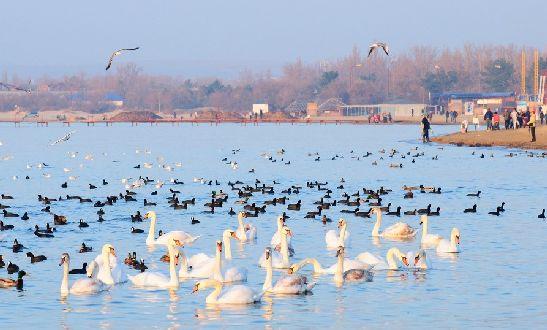 В Анапу слетаются зимовать перелётные птицы