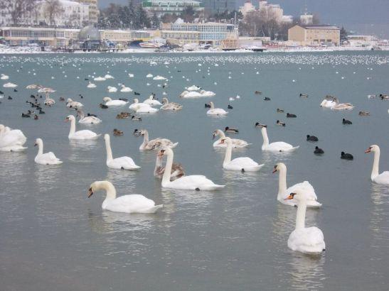 Зимой лебеди улетают на юг - в прекрасную Анапу